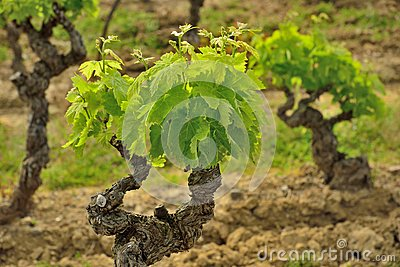 Old groth vines in France