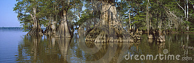 Old-growth cypresses at Lake Fausse Pointe State