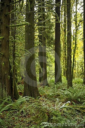 Free Old Growth Forest Mossy Tree Stands - Lush Forest Royalty Free Stock Photography - 3610007
