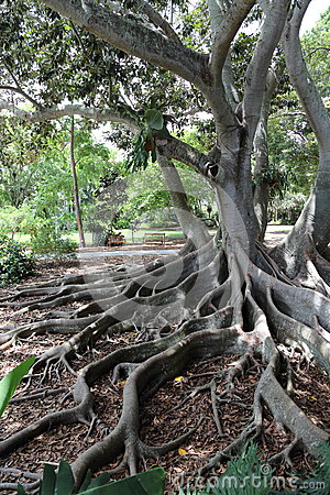 Free Old Growth Tree, Marie Selby Botanical Gardens, Sarasota, Florida Stock Photography - 77358802