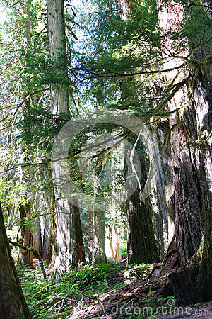 Free Old Growth Western Redcedars Royalty Free Stock Image - 62014696