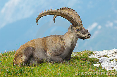 Old ibex