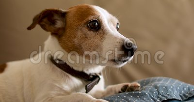 Jack russell dog lies on the couch. Old Jack Russell dog lies on beige sofa at home stock footage