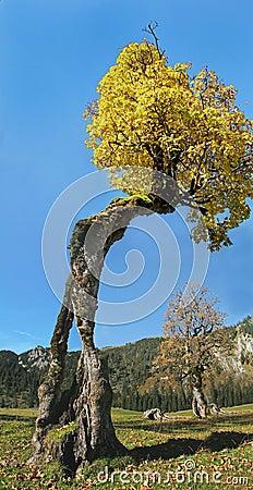 Old knaggy tree, ahornboden karwendel, austria