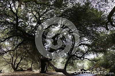 Old large live oak tree