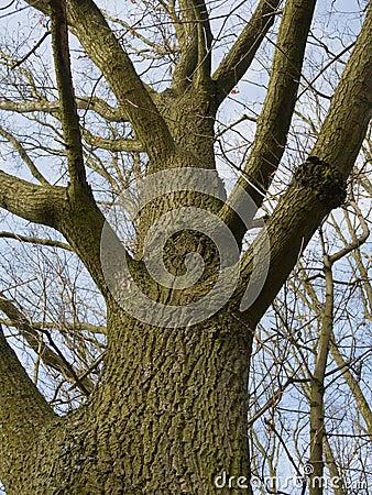 Old leafless oak tree