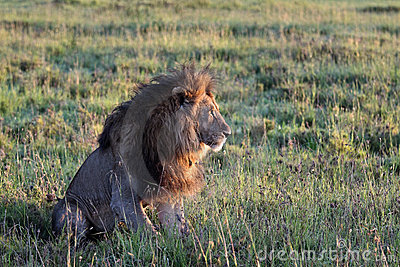 Old lion greets the sunrise in the savannah