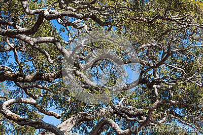 Old Live Oak Trees Under Blue Skies Stock Photo