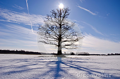 Old and lonely oak tree on snow field