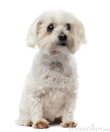 Old Maltese dog with cataract, sitting, looking away