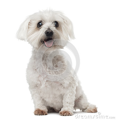 Old Maltese dog with cataract, sitting, panting