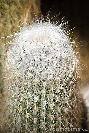 Old Man Cactus with its white hair