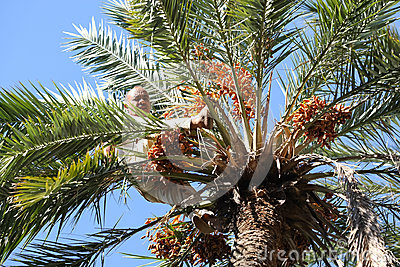 Old man climbing on palm tree in oasis Editorial Photography