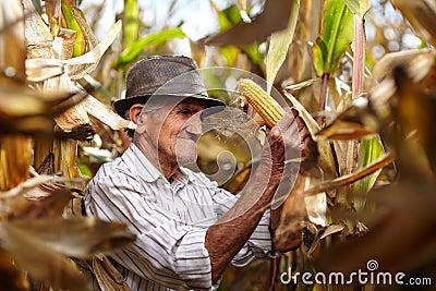 Old man at corn harvest