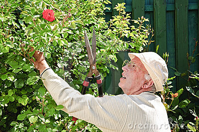 Old man gardening rose bush