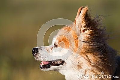 Old mixed breed dog at sunset