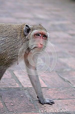 Free Old Monkey Royalty Free Stock Images - 26719799