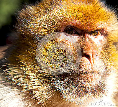 Free Old Monkey In Africa Morocco And Natural Background Fauna Close Royalty Free Stock Photography - 63493427