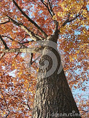 Old oak tree in the fall 1