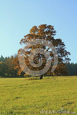 Old oak tree on the horizon