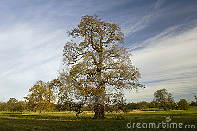 Old Oak Tree in late Autumn