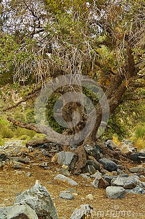 Free Old Oak Tree Textured Landscape Royalty Free Stock Photography - 25681057