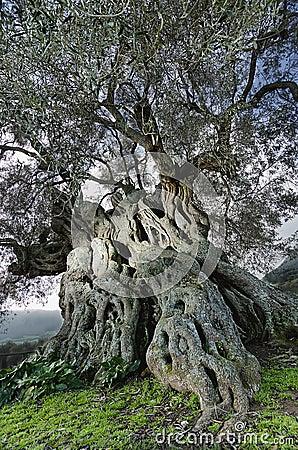 Old olive