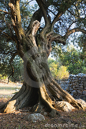 Free Old Olive Tree Royalty Free Stock Image - 13305326