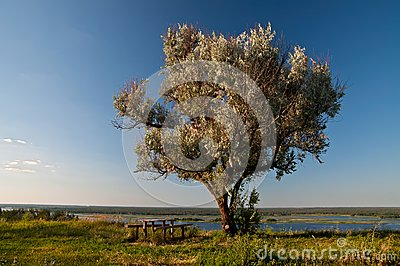 Old olive tree, table and benches on Dnieper river