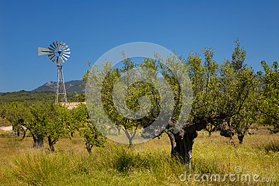 Old olive tree and wind mill