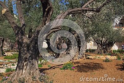 Old Olives In Garden Of Gethsemane In Jerusalem Stock Photo Image 8837420
