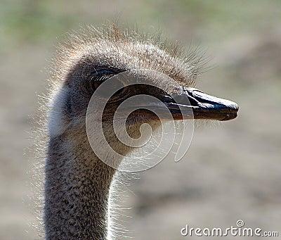 Old ostrich