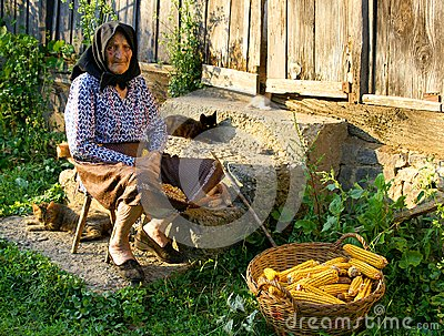 Old peasant woman harvests corncobs
