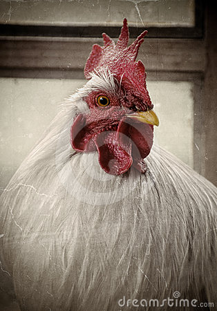 Old photo of a white rooster
