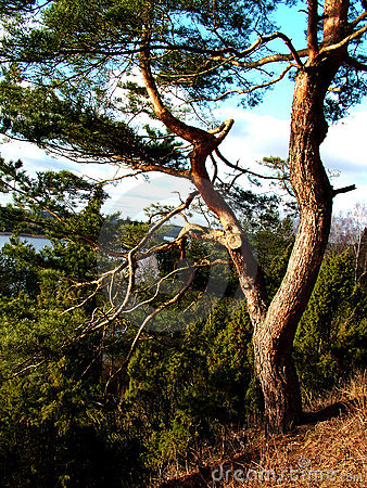 A old pine