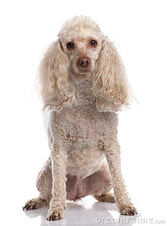 Old Poodle sitting (13 years old)