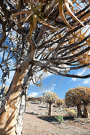 Old quiver tree in South Africa - vertical format