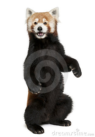Old Red panda or Shining cat, Ailurus fulgens