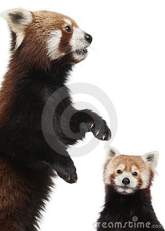 Old Red pandas or Shining cats, Ailurus fulgens