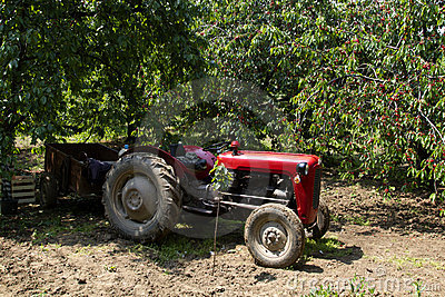 Old red tractor in cherry orchard
