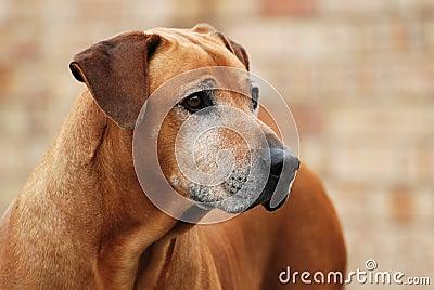 Old Rhodesian Ridgeback dog portrait