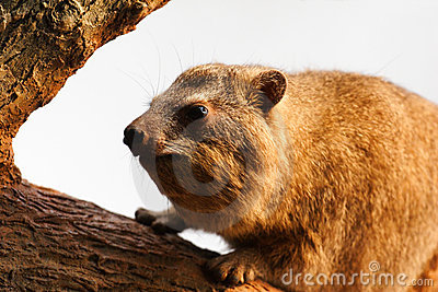 An Old Rock Hyrax