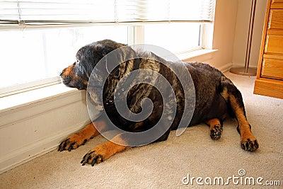 Old rottweiller dog gazes out window