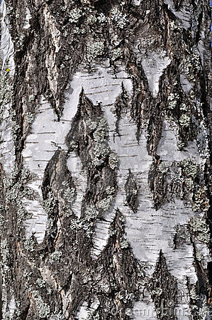 Free Old Rough Birch Bark Background Stock Images - 14653864