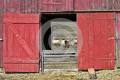 Old Red Wood Sheep Barn And Flock Royalty Free Stock ...