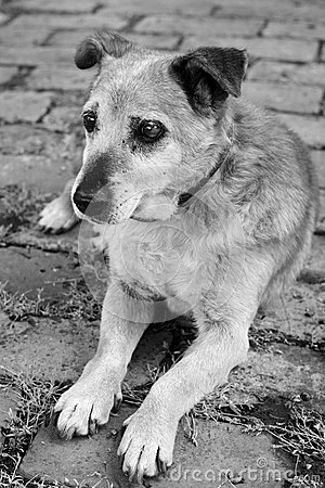 Old sad mix breed dog
