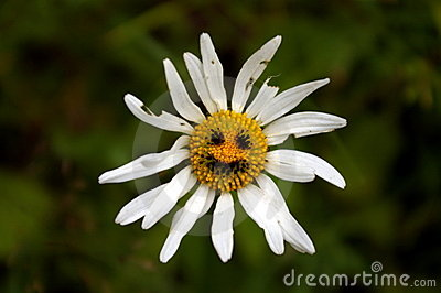 Old shabby camomile flower with funny smile