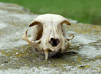Old skull of cat