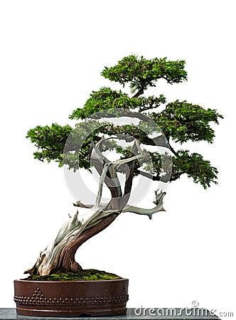 Free Old Temple Juniper As Bonsai Tree Stock Photos - 25197263