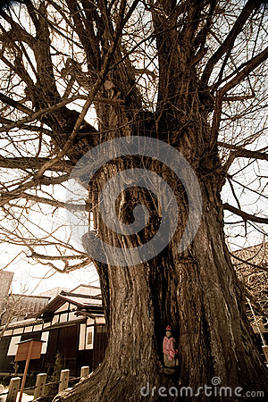 Free Old Tree At Hida Kokubunji Temple Stock Photos - 91951493